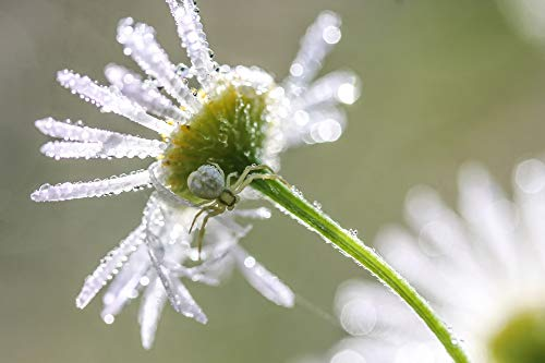 Home Comforts Canvas Print Macro Flower Spider Daisy Dew-Drop White Flower Vivid Imagery Stretched Canvas 32 x 24