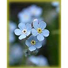Forget-Me-Not- 500 seeds