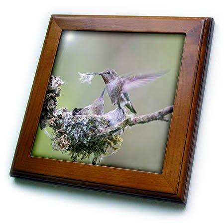 3dRose Danita Delimont - Hummingbirds - Washington. Annas Hummingbird female removes some down from nest. - 8x8 Framed Tile (ft_279687_1)