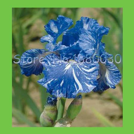 (Orchid Seeds Beautiful Flower White Small 50PCS Lovely Blue + White Zebra Mixed Japanese Blue iris Flowers & DIY Home Garden Easy to Survive)