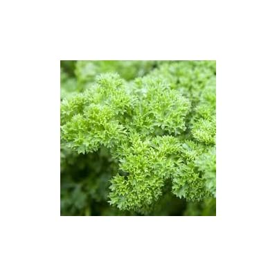 Parsley Triple Curled Great Garden Herb by Seed Kingdom Bulk 30, 000 Seeds : Herb Plants : Garden & Outdoor