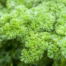 Parsley Triple Curled Great Garden Herb By Seed Kingdom BULK 30,000 Seeds ()