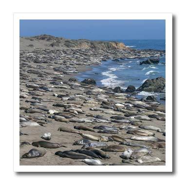 3dRose Danita Delimont - Seals - Elephant Seals on Beach, San Simeon, California - 6x6 Iron on Heat Transfer for White Material ()