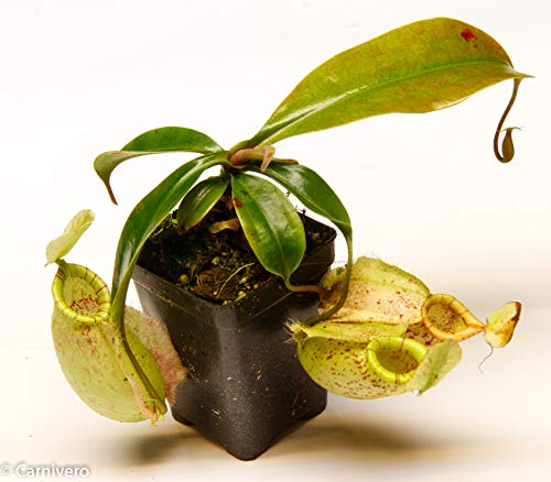 small nepenthes pitcher plant - 4