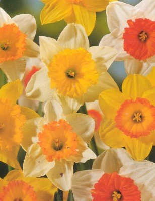 Mixed Narcissus Daffodil 50 Bulbs - SUPER VALUE - Deer Proof! by Hirts Bulbs
