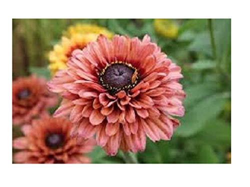 Flower Seeds rudbeckia Sahara/Perennial 30 pcs ()