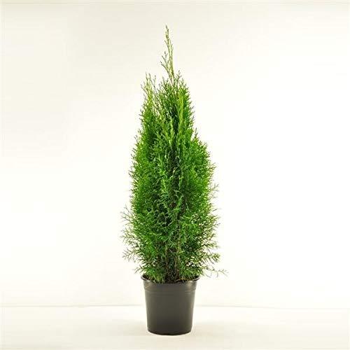 Platz 3 – Thuja occidentalis Smaragd (80-100 cm hoch)
