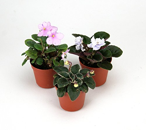 jmbamboo-terrarium-fairy-garden-kit-miniature-african-violet-3-pk-2-pot-create-your-own-living-terra