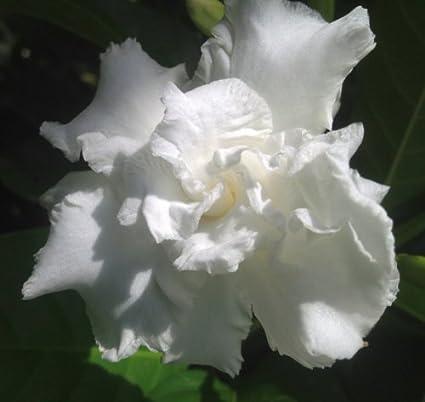 Amazon vetchii gardenia live plant intensely fragrant double vetchii gardenia live plant intensely fragrant double white flowers spring summer bloomer starter size plant 4 mightylinksfo