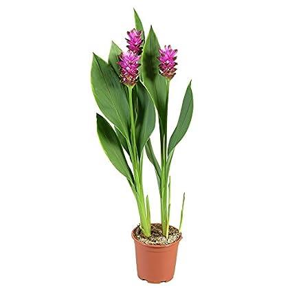 Amazon.com: 2 Plants Bulbs Pratumrat with White rim Siam Tulip ...