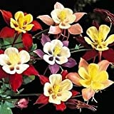 50 Mixed Colors MCKANAS GIANT COLUMBINE Aquilegia Vulgaris Flower Seeds