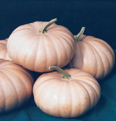 David's Garden Seeds Pumpkin Long Island Cheese D2051A (Orange) 25 Heirloom Seeds