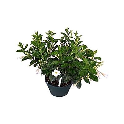 PlantVine Mandevilla - White, Dipladenia - Large, Hanging Basket - 8-10 Inch Pot (3 Gallon), Live Plant : Garden & Outdoor