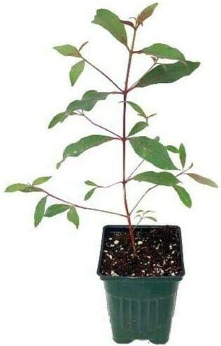 Tree Plant Rainbow Eucalyptus Mindanao Gum Rainbow Gum Psychedelic Deglupta Ind//Out 4 Pot