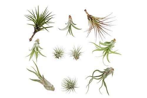 Costa Farms Live Air Plants, Assorted Tillandsia, Large