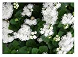 David's Garden Seeds Flower Ageratum Dondo White E14DF (White) 500 Open Pollinated Seeds
