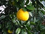 2-3 Year Old (2-3 Ft) Saint Anne Satsuma Orange Tree