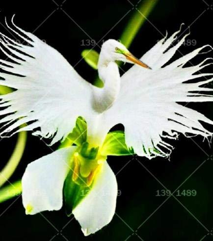 Pasonaseeds - Bonsai - 200pcs Rare Bonsai Flower Radiata White Egret Orchid Noble Flower Species White Flower for Home Garden Potted Plants Planting