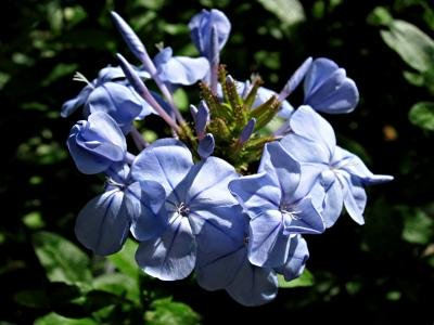 Classy Groundcovers - Dwarf Plumbago, Hardy Blue Plumbago Chinese Leadwort {25 Pots - 3 1/2 in.} by Classy Groundcovers (Image #7)