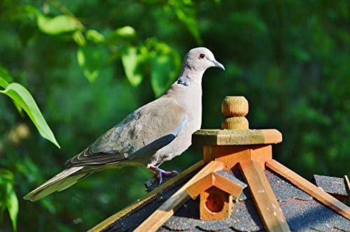 Home Comforts Laminated Poster Nature Collared Dove Bird City Pigeon Poultry Vivid Imagery Poster Print 24 x 36