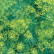 Dill Bouquet Great Garden Herb By Seed Kingdom BULK 30,000 Seeds (Bouquet Dill Seeds)