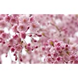 Weeping Flowering Cherry Tree – Prunus subhirtella 'Autumnalis' - Higan - One Trade Gallon Potted - 1 Plant by Growers Solution