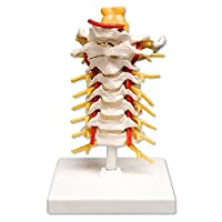 """3B Scientific A72 Cervical Spinal Column Model with Stand, 7.5"""" Height"""