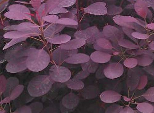 Royal Purple Smoketree Cotinus Coggygria Heavy Established Roots 1 Trade Gallon Pot - 1 plant by Growers Solution (Wispy Leaf)
