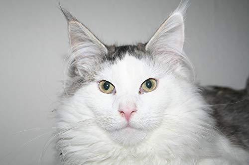 Home Comforts Laminated Poster Cat Animal Kitten Cute Pet Sweet Cat Portrait Vivid Imagery Poster Print 11 x 17 (Rectangular Etagere)