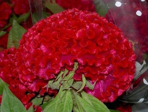Pinkdose Flower Seeds: Celosia Cristata Seed Best Garden Seeds: Amazon.es: Jardín