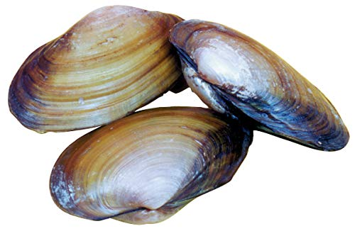 Frey Scientific Choice Preserved Freshwater Clam, 4-5 in Vacuum, Pack of 10