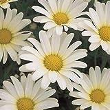 "Argyranthemum-Vanilla-Butterfly - 4 1/2"" Pot (Annual)"