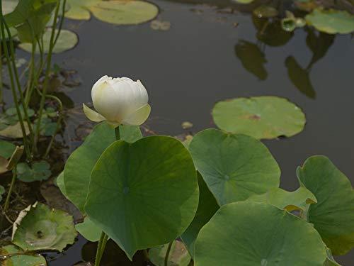Home Comforts Canvas Print Pea Coat Lin Aquatic Lotus Vivid Imagery Stretched Canvas 32 x 24