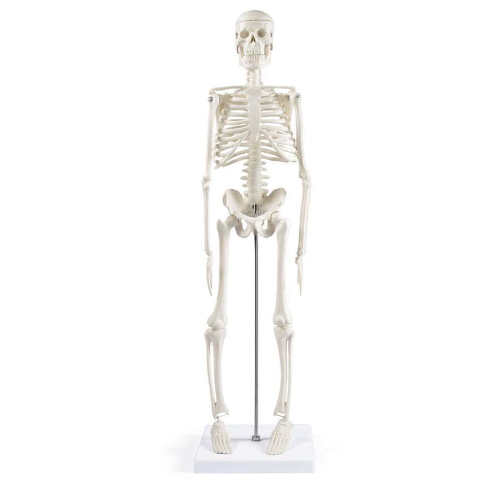 "Human Skeleton Model for Anatomy,17""Mini Human Skeleton Model with Movable Arms and Legs,Scientific Model for Study Basic Details of Human Skeletal System"