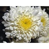 White Chrysanthemum Flower Seeds 50 Stratisfied Seeds