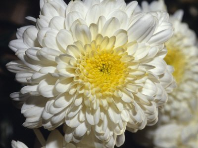 Amazoncom White Chrysanthemum Flower Seeds 50 Stratisfied Seeds