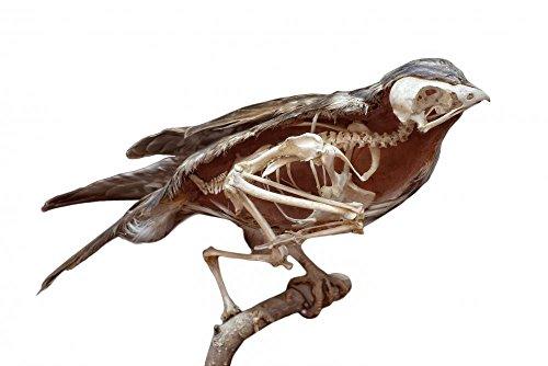 Wallmonkeys Stuffed Bird with Skeleton inside Peel and Stick Wall Decals WM126615 (18 in W x 12 in H)