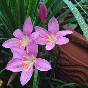 Amazon Com Pink Lycoris Lily Rain Lily Bulbs 2 Bulbs Summer