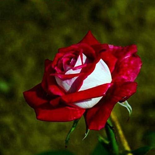 SOOGGI 100粒 赤と白バラの種 きれいに咲く 植物種子 花 有機 観葉植物 高い発芽率 簡単な栽培 ホームガーデンの装飾