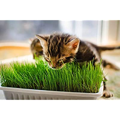Russian Grass for Cats, Grass Seeds for Cats from Russia : Garden & Outdoor