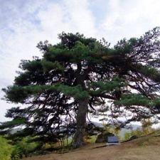 20 red japanese pine tree