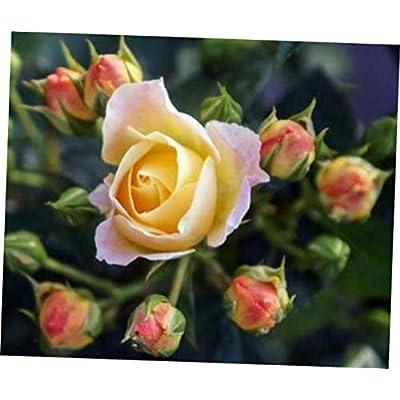 GIA 1 Live Plant - Quart Pot Popcorn Drift Groundcover Rose - RK148 : Garden & Outdoor