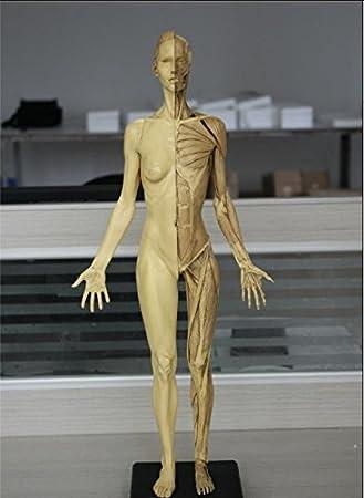 versión de la PU, Artes anatomía músculo-esquelético del cuerpo ...