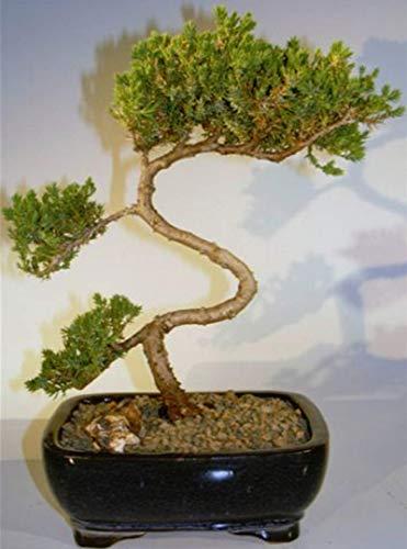 Hot Sale! Juniper Bonsai Tree - Trained (juniper procumbens nana)
