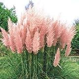 Higarden Adorable Light Pink Ornamental Grass Seeds Cortaderia Class DIY Garden Patio Grass Seed, 500 units / lot