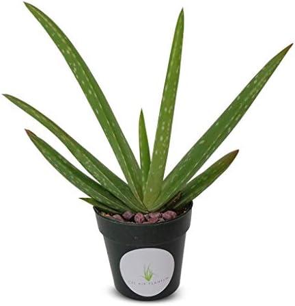 live-aloe-vera-succulent-aloe-barbadensis