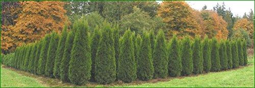 Thuja Emerald Green Arborvitae - 60 Live Plants - 2'' Pot Size - Evergreen Privacy Tree by Florida Foliage (Image #6)