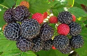 Raspberry Great Garden Fruit Bush 15 Seeds