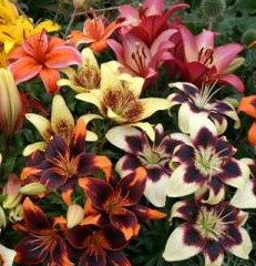 Spectacular Flowering Perennials, Tango Lily Mix Bulb, Plant, Flower
