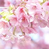 Golden autumn farm- 10 JAPANESE CHERRY TREE Pink Cloud Oriental Sweet Prunus Serrulata Flower Seeds